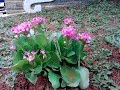 TERBUKTI!! 16 Manfaat dan Khasiat Bunga Cocor Bebek untuk Kesehatan
