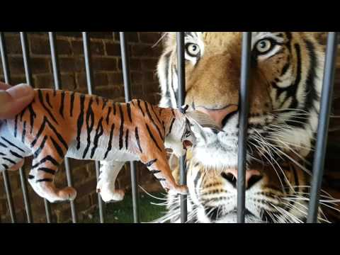 Tigers reaction to toy tiger .