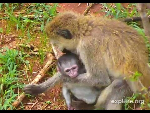 Baby Vervets! Africa River cam. 14 March 2018