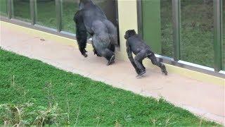 シャバーニと娘アニー⑦  Dad Shabani & daughter Annie  gorilla