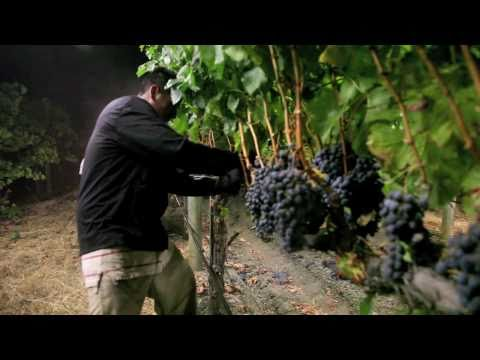wine article Night Harvest  Harvesting Merlot Grapes for Jordan Cabernet Sauvignon  Alexander Valley