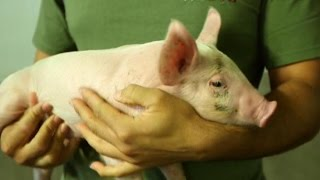 What You Can Learn From a Greek Pig Farmer