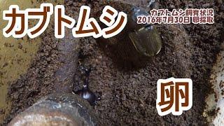 【過去動画】 なかなか楽しい カブトムシ飼育中(XPERIA Z4 TAB & RX10...