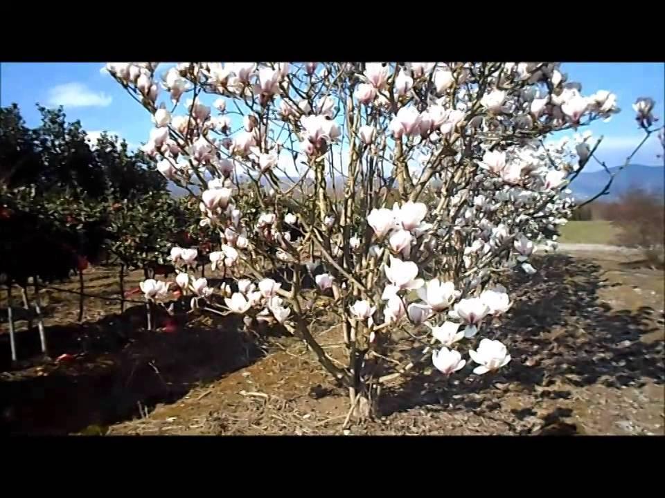 magnolia x soulangeana youtube. Black Bedroom Furniture Sets. Home Design Ideas