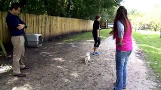 How To Leash Train A Puppy Flexi Lead Lab Puppy Marley