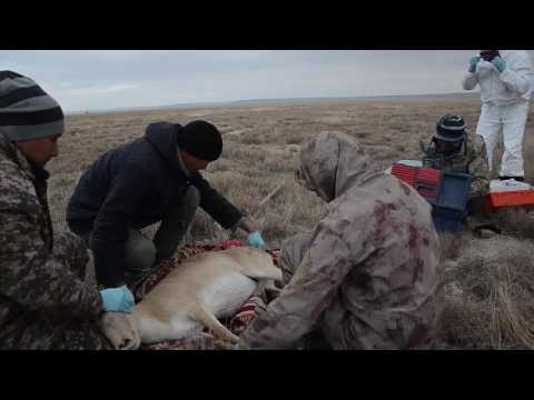 Fall expedition 2016, Saiga capture process in field work.