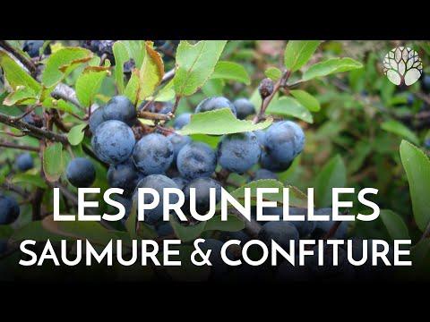 Prunelles Du Prunellier Ou épine Noire, Umeboshi