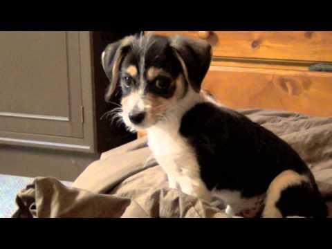 Zeus - Maltese Tenterfield Terrier Cross