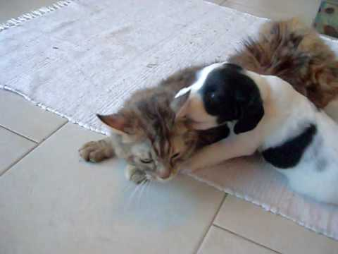 Abby  the Springer Spaniel Pup & Lacey the gorgeous cat