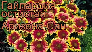 видео Гайлардия остистая Gaillardia aristata
