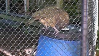 Kia - Most intellagent bird on earth - Ranbow Springs NZ