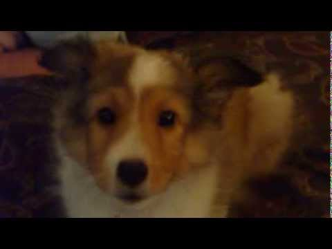 Trubble is learning how to howl at 9 weeks old.  Smartest Sheltie pup on the planet.