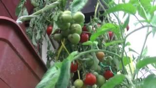 видео Ампельные помидоры: выращивание