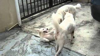 Pure White Siberian Husky With Pa & Ma 2