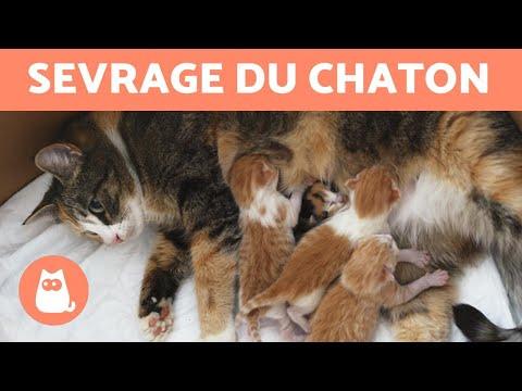 Sevrage Du Chaton - Âge, Temps, Durée