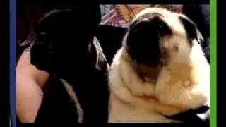 Pug Yells Batman Remix