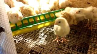 Выведение цыплят зимой. Наш брудер.