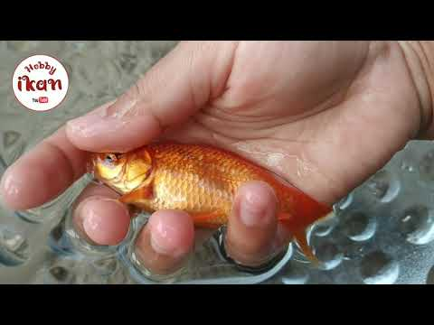Cara Membedakan Ikan Komet Jantan Betina By Hobby Ikan Youtube