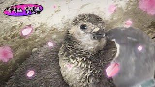남극 펭귄과는 전혀 다른 아프리카 출신 자카스 펭귄ㅋㅋㅣ Who Knew? Penguins Live In A…