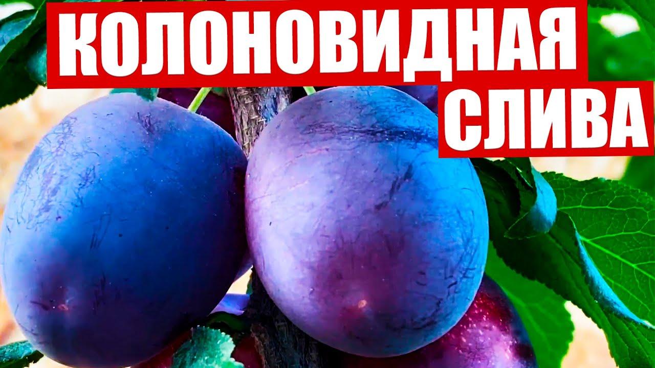Красивые темно-синие плоды колоновидной сливы в августе. Мои рекомендации к посадке сливы