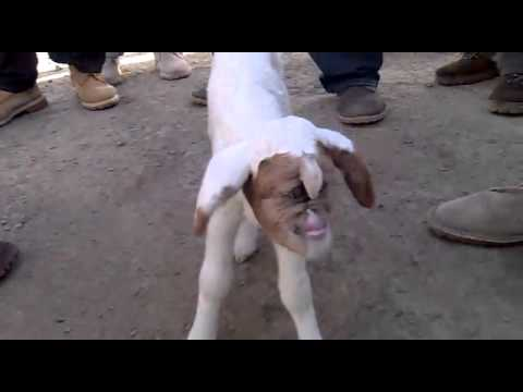 human crossbreeding with goat youtube