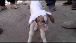 human Crossbreeding with goat