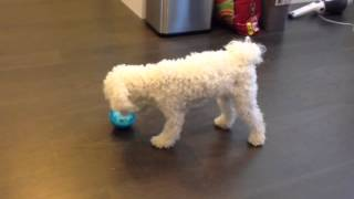"Pekoe The Poodle Plays With ""iq Treat Ball"""