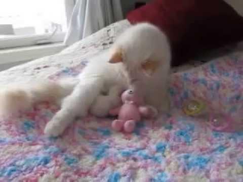 Sweet Infinity one male cream Ragdoll kitten