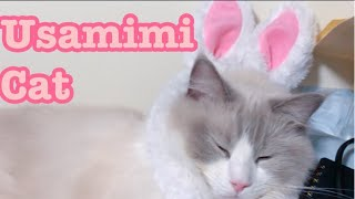 Maro wants to be Usamimi!【Ragdoll cats】【adorable cute animals】