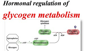 Glycogen metabolism regulation