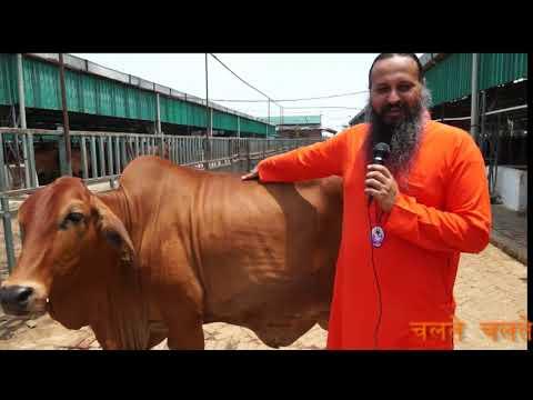 शुद्ध साहिवाल गाय की कैसे पहचान करे -  Identify characteristics of Sahiwal Cow