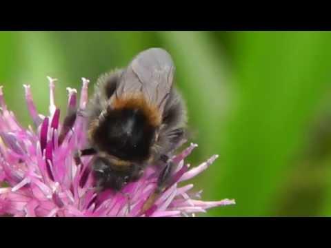 2014-10-16 Baumhummel, Tree bumblebee, Bombus hyphorum, Guntersblum