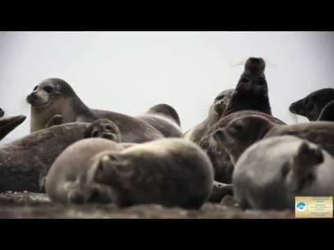История каспийского тюленя