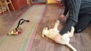 Как нужно играть со щенком!!! Порода Лабрадор ретривер