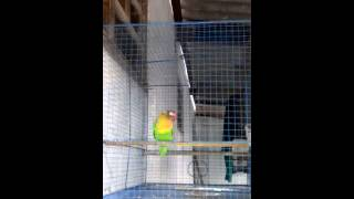 lovebird isian cucak jenggot