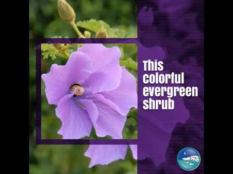 Water Wise Plant Of The Week Purple Delight Lilac Hibiscus Youtube