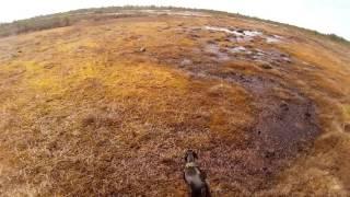 Охота на утку на болоте из скрадка