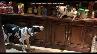 Funny Cats Go Up To Escape 4 Month Old Great Dane Puppy