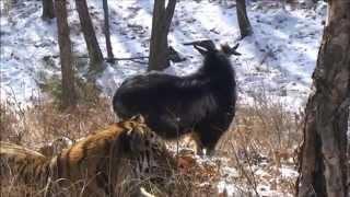 Тигр Амур и козёл Тимур история дружбы