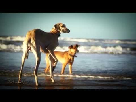 Race The Wind 3 - Sloughi Beach 1 • Arabian Greyhound Galgo Dog Windhund Hunt Chasse Jagd