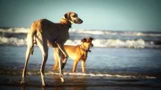 Race The Wind 3 - Sloughi Beach 1 • Arabian Greyhound Galgo سباق ال...