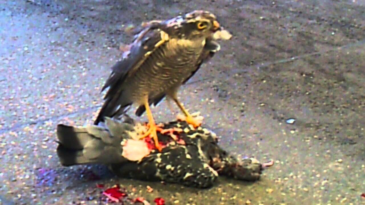 Wild Peregrine falcon attacks and destoys live pigeon ...
