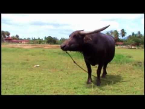 Water Buffalo Langkawi Malaysia: