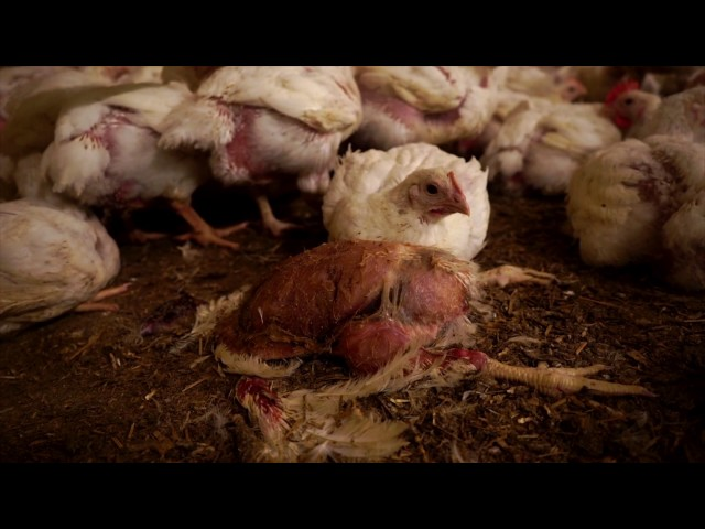live-chickens-rotting-corpses-and-humane-meat