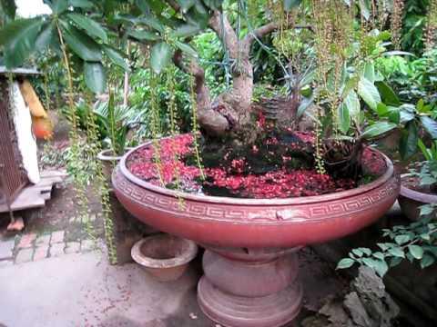 cây cảnh dep ( cay kieng bonsai ) que huong.AVI