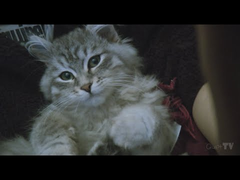 Early videos of our Pedigree Siberian Cat Dolly