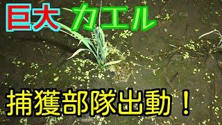 超巨大カエルを捕まえに近所の田んぼに出動!! thumbnail