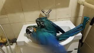 Попугай ара любит чистоту