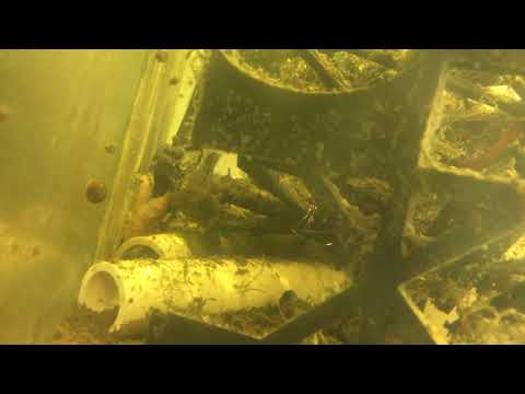 Crayfish actively feeding on microscopic floating debris