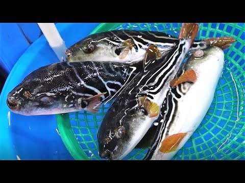 까치복 회와 매운탕-주문진 어민수산시장 yellowfin puffer, Korea [맛있겠다 Yummy]
